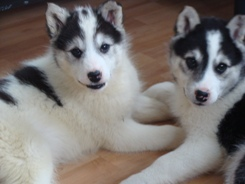 Sled Dog Pups245X184